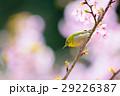 桜にメジロ 29226387