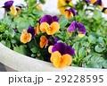 オレンジと紫のビオラ(オレンジジャンプアップ) 29228595