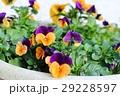 オレンジと紫のビオラ(オレンジジャンプアップ) 29228597