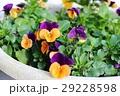 オレンジと紫のビオラ(オレンジジャンプアップ) 29228598