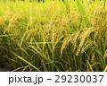 水田 米 稲の写真 29230037