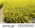 水田 米 稲の写真 29230040
