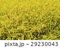 即將收成的水稻,在台灣的東部。 29230043