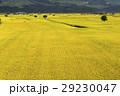 即將收成的水稻,在台灣的東部。 29230047