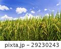 水田 米 稲の写真 29230243