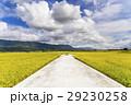 水田 米 稲の写真 29230258