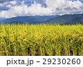 水田 米 稲の写真 29230260