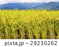 即將收成的水稻,在台灣的東部。 29230262
