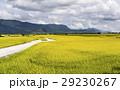 即將收成的水稻,在台灣的東部。 29230267