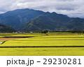 即將收成的水稻,在台灣的東部。 29230281