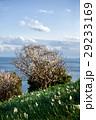 灘黒岩水仙郷 水仙 花の写真 29233169