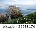 灘黒岩水仙郷 水仙 花の写真 29233170