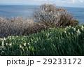 灘黒岩水仙郷 水仙 花の写真 29233172