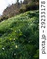 灘黒岩水仙郷 水仙 花の写真 29233178