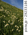 灘黒岩水仙郷 水仙 花の写真 29233186