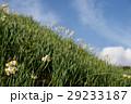 灘黒岩水仙郷 水仙 花の写真 29233187