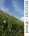 灘黒岩水仙郷 水仙 花の写真 29233188