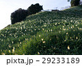 灘黒岩水仙郷 水仙 花の写真 29233189