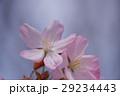 桜 花 ピンクの写真 29234443