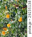 柑橘 29235138