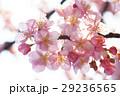 桜31 29236565