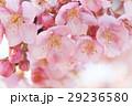 桜812 29236580
