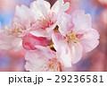河津桜 カワヅザクラ 桜の写真 29236581