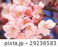 河津桜 カワヅザクラ 桜の写真 29236583