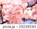 河津桜 カワヅザクラ 桜の写真 29236584