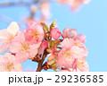 河津桜 カワヅザクラ 桜の写真 29236585