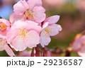 河津桜 カワヅザクラ 桜の写真 29236587