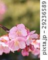 桜993 29236589
