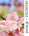 河津桜 カワヅザクラ 桜の写真 29236590