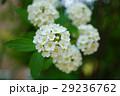 花 小手毬 鈴掛の写真 29236762