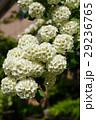 花 小手毬 鈴掛の写真 29236765