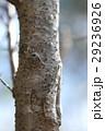 エドヒガン 木肌 樹皮の写真 29236926