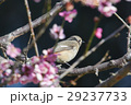 ジョウビタキと梅の花 29237733