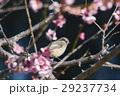 ジョウビタキ 小鳥 鳥の写真 29237734