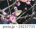 ジョウビタキと梅の花 29237735