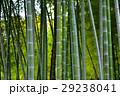 竹 竹林 林の写真 29238041