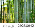 竹 竹林 林の写真 29238042