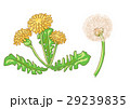 花 たんぽぽ 蒲公英のイラスト 29239835
