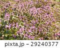 ホトケノザ 野草 花の写真 29240377