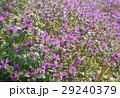 ホトケノザ 野草 花の写真 29240379