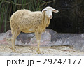 Image of a brown sheep on nature background. 29242177