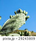 さぼてん サボテン 仙人掌の写真 29243809