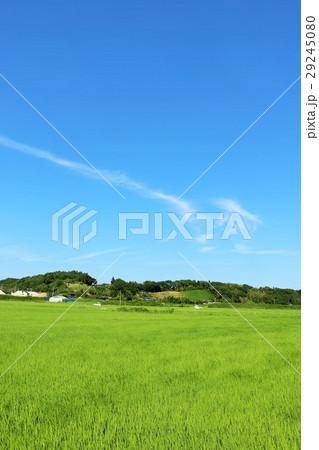 夏の青空 新緑の田んぼ風景 29245080