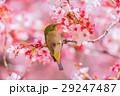 メジロ 寒桜 29247487