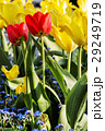 Red and yellow tulips with forget-me-not flowers 29249719