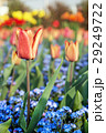 Red tulips and forget-me-not flowers 29249722